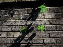 砖墙边的绿藤草