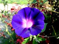 紫蓝色的牵牛花