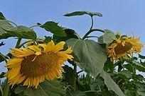 农作物油葵