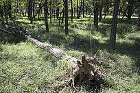 森林中倒塌的槐树