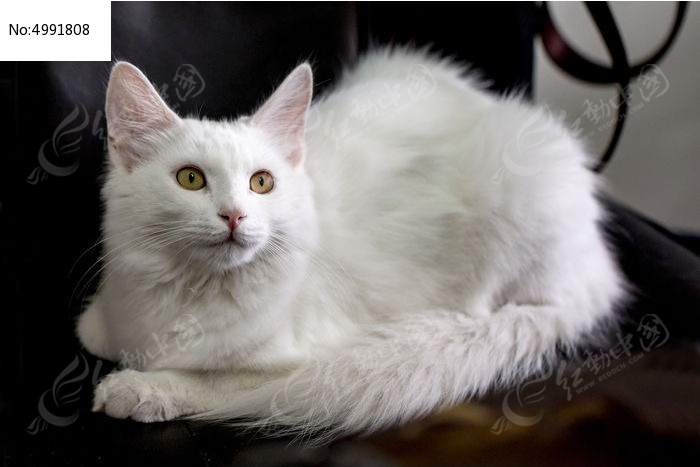 侧视的可爱白猫图片