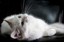 侧躺的可爱白猫