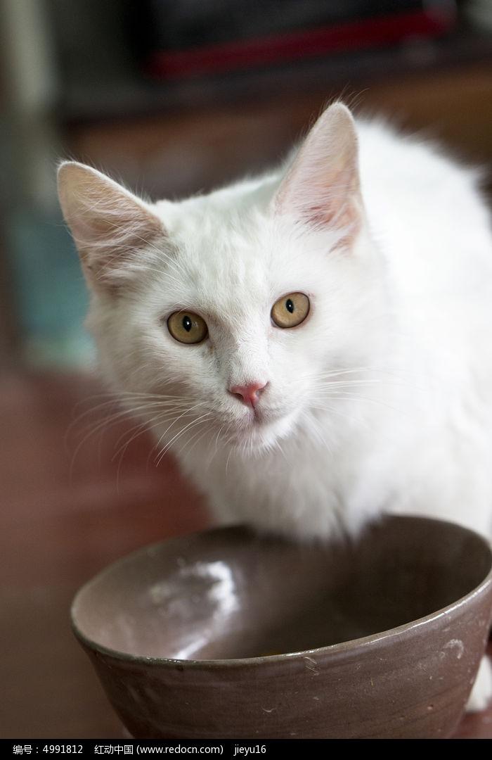 进食中警觉的可爱白猫