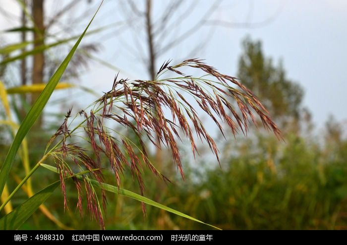 原创摄影图 动物植物 花卉花草 芦苇