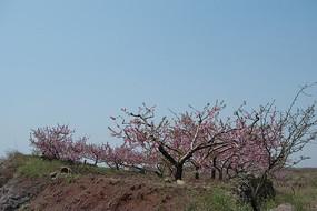 山坡上的桃花盛开