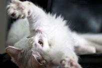 仰天抵抗的可爱白猫