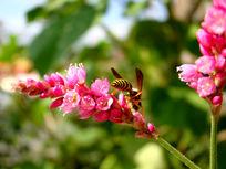 蹶屁股采蜜的蜜蜂