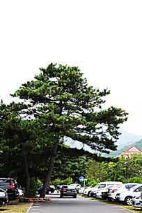 生长在千山正门停车场里的松树