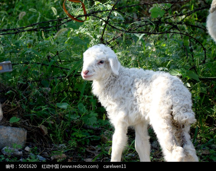 一只小羊崽图片,高清大图