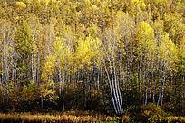金色的白桦林