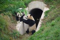 陕西野生动物饲养中心的大熊猫