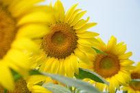 欣欣向荣的向日葵