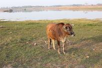 风景—田江牧牛