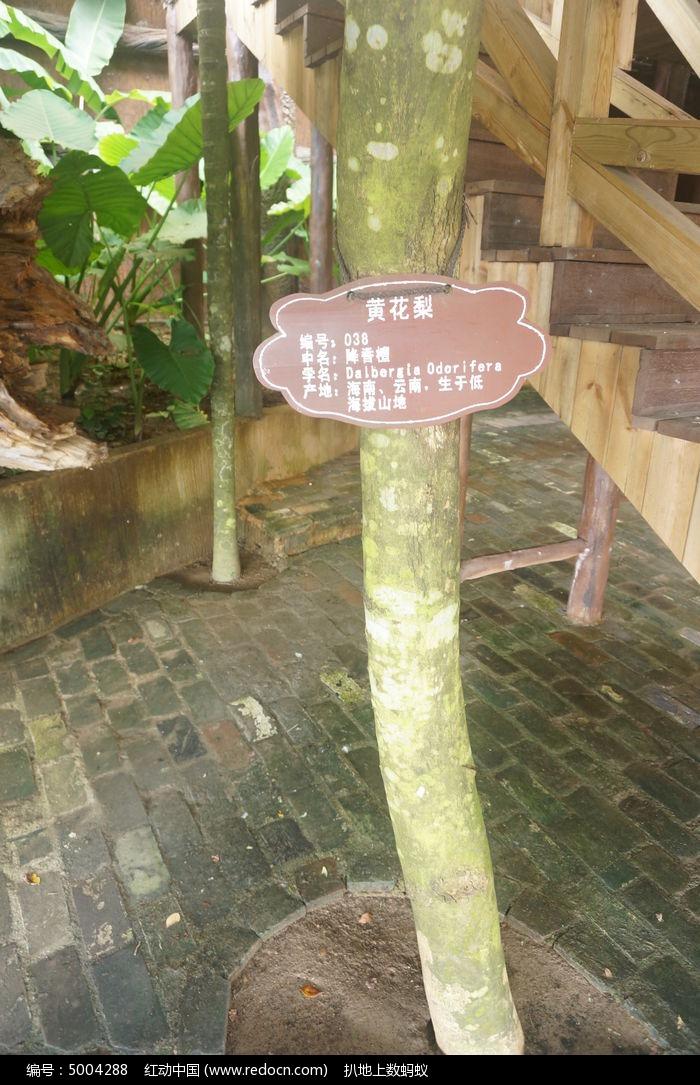 原创摄影图 动物植物 树木枝叶 海南黄花梨  请您分享: 红动网提供