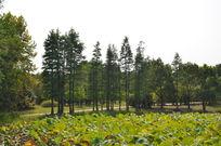 荷塘边上一排树