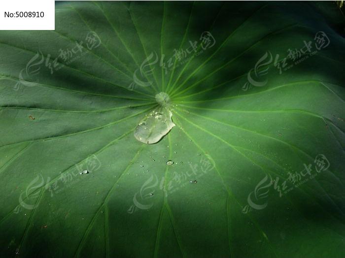 原创摄影图 动物植物 花卉花草 荷叶的表面  请您分享: 红动网提供