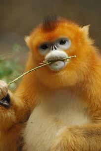 金丝猴面部特写啃树枝