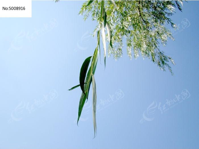 蓝天里的柳叶图片图片