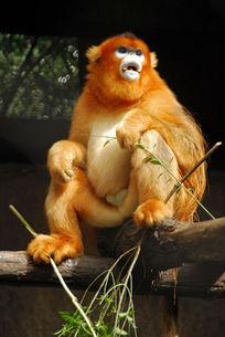 饲养中的野生金丝猴