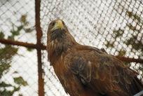 野生动物保护中心的鹰