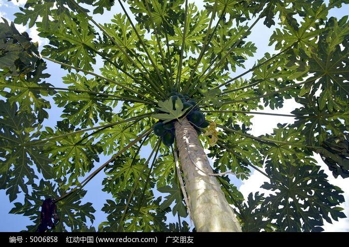 一棵木瓜树图片,高清大图_树木枝叶素材