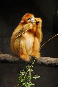一只野生金丝猴正在啃树枝
