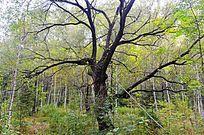 原始森林大树