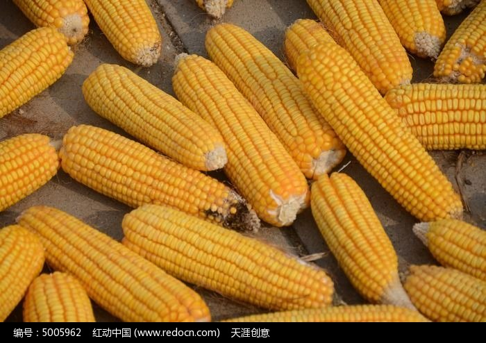 原创摄影图 动物植物 农作物 玉米近景  请您分享: 红动网提供农作物