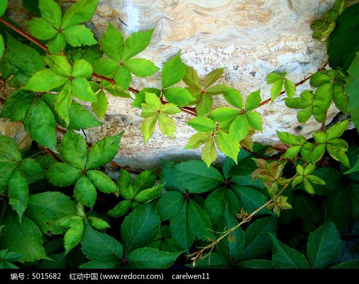 原创摄影图 动物植物 花卉花草 缠绕在石头上的爬山虎