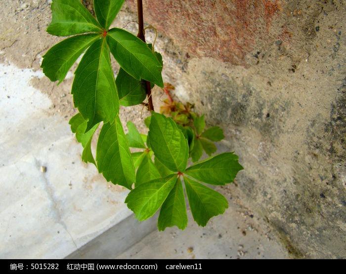 原创摄影图 动物植物 花卉花草 墙边爬山虎的叶子