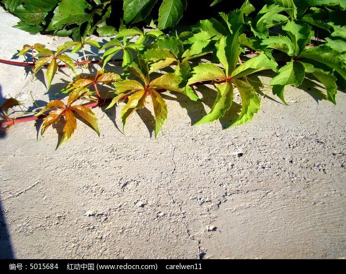 原创摄影图 动物植物 花卉花草 水泥地上的爬山虎  请您分享: 素材