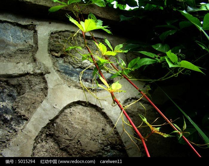 原创摄影图 动物植物 花卉花草 秀雅的爬山虎绿藤  请您分享: 红动网