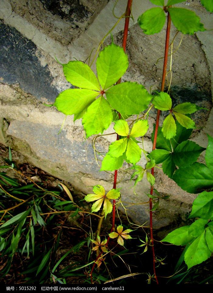 原创摄影图 动物植物 花卉花草 悬吊在墙上的爬山虎  请您分享: 红动
