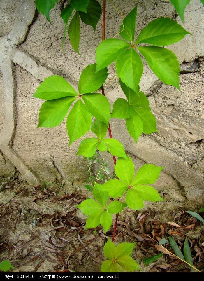 原创摄影图 动物植物 花卉花草 宣挂在墙边生长的爬山虎  请您分享