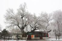 公园里积雪的大树