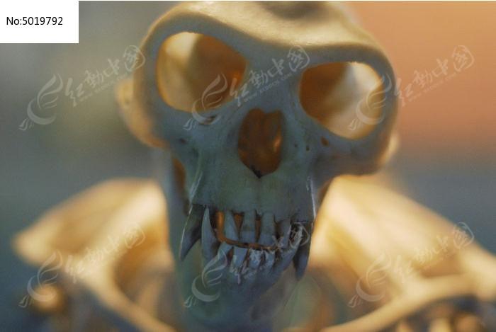 金丝猴面部骨骼标本图片,高清大图_陆地动物素材