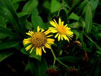 两朵野生的雏菊花