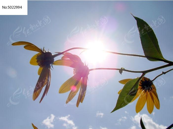 阳光里照耀着的姜不辣花