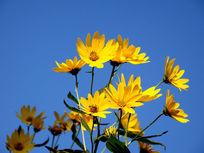 一簇朝阳开放的菊芋花