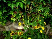 一簇野生的雏菊花