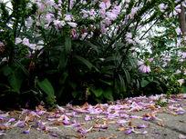 芝麻花的花瓣落一地