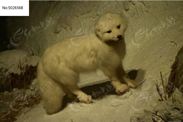 北极白狐动物标本图片,高清大图_艺术文化素材