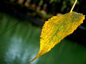 侧面也超美的黄叶