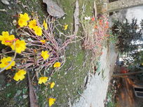 地上的太阳花
