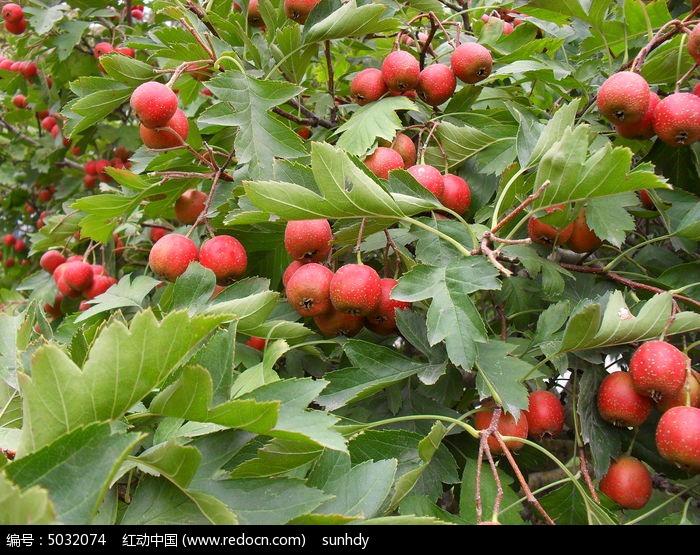 丰收的山楂树果实图片