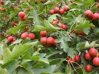 丰收的山楂树果实