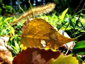 狗尾巴草和干黄叶