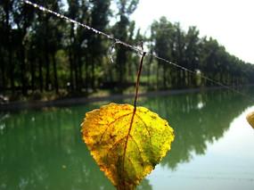 河上的黄叶