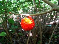 红色的野生果实挂在树上