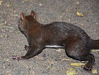 略带粽黑色毛的松鼠在人行的路上